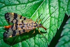 Mecoptera on macro leaf. Grey Mecoptera on green leaf macro photo Royalty Free Stock Images