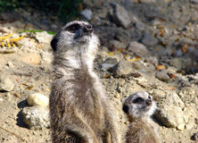 Grey meerkats (Suricata suricatta). Learning to serve - the next generation Stock Photo