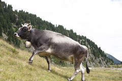 A grey Milk cow grazing on an alp in the Austrian mountains. Stock Photography