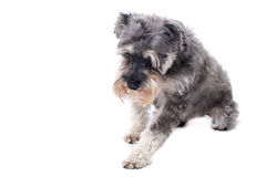 Grey Miniature Schnauzer Terrier in Studio Royalty Free Stock Photography