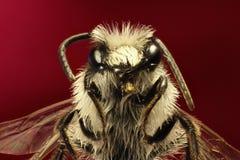 Grey Mining Bee op rode Achtergrond Stock Foto