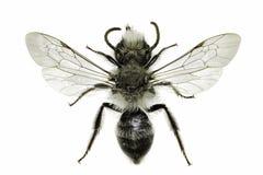 Grey Mining Bee op witte Achtergrond Stock Afbeeldingen