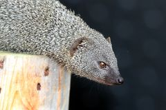 Grey Mongoose Royaltyfria Bilder