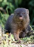 Grey Mongoose Royalty Free Stock Image