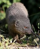Grey Mongoose Royalty Free Stock Photo