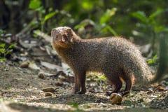 Grey Mongoose nel parco nazionale di Minneriya, Sri Lanka Fotografia Stock