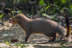 Grey Mongoose nel parco nazionale di Minneriya, Sri Lanka Fotografie Stock