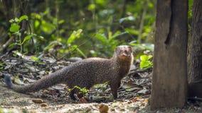 Grey Mongoose nel parco nazionale di Minneriya, Sri Lanka Immagine Stock