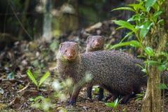 Grey Mongoose nel parco nazionale di Minneriya, Sri Lanka Immagini Stock