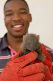 Grey mongoose rescued from traditional African Stock Image