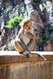 Grey monkey Royalty Free Stock Photography