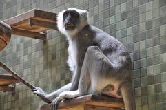 Grey monkey with big tooths. Wildlife in bondage, wild animal, mammal stock photo