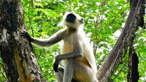 Grey Monkey, Trachypithecus stockfotos