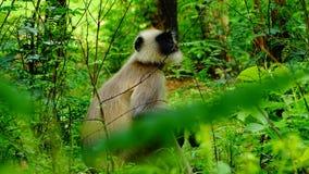 Grey Monkey, Trachypithecus lizenzfreie stockfotografie