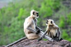 Grey monkeys unique posture Stock Photo