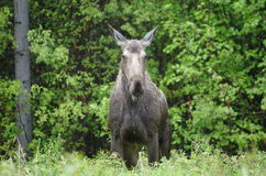 Grey Moose Stock Images