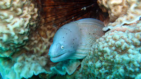 Grey moray eel,Gymnothorax griseus Stock Image