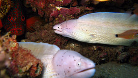 Grey moray eel,Gymnothorax griseus Stock Photography