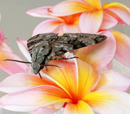 Grey moth on frangipani Royalty Free Stock Images