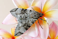 Grey moth on frangipani Stock Photo