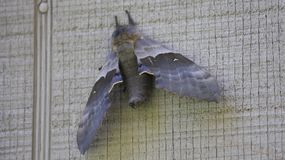 Grey moth on a grey wall. Picture taken with canon 80D of a grey moth on a grey wall Stock Image