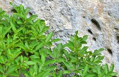 Grey mountain wall and green plants. Grey mountain wall and grey plants for the background. A scene in the mountains. Focus on the foreground royalty free stock photo