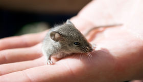 Grey mouse Royalty Free Stock Image