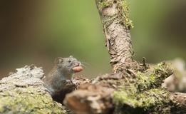 Grey Mouse Carrying Food Stock Photo