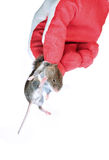 Grey mouse in hand disinfectant worker in the glove closeup. Grey mouse holding by the scruff in hand disinfectant worker in the glove closeup isolated Stock Images