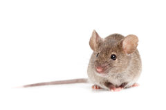 Grey mouse isolated on white. Grey mouse close up isolated on white background