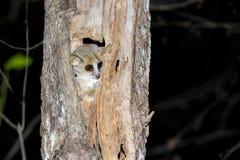 Grey mouse lemur, kirindy Royalty Free Stock Photography