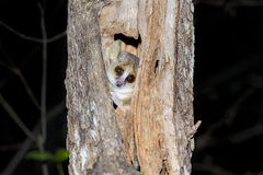 Grey mouse lemur, kirindy Royalty Free Stock Image