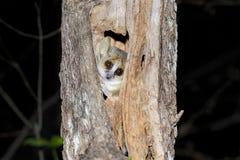 Grey mouse lemur, kirindy. Madagascar Royalty Free Stock Image