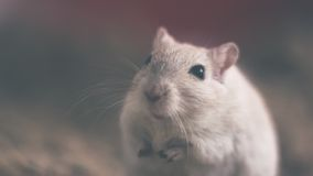 Grey Mouse Smiling Royalty Free Stock Images