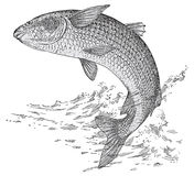Grey mullet. Vector illustration of grey mullet fish Royalty Free Stock Photo