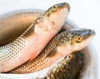 Grey mullet. Three fresh grey mullet in the cup Stock Photography