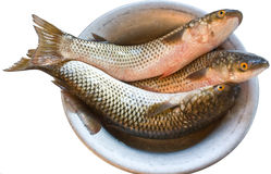 Grey mullet. Three fresh grey mullet in the cup Royalty Free Stock Photos