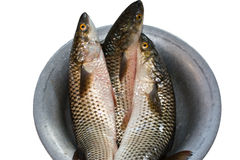 Grey mullet Stock Photography