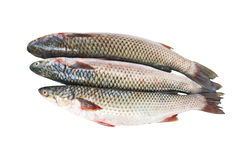 Grey mullet. Three fresh grey mullet on a white background Stock Photo