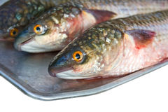 Grey mullet. Three fresh grey mullet on a plate Stock Photography