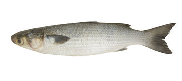 Grey mullet Stock Photos