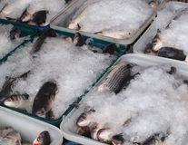 Grey Mullet Fish Packed in Ice Stock Images