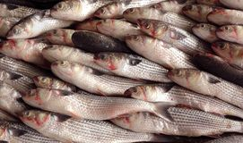 Grey Mullet Fish for Sale at the Fishmarket Royalty Free Stock Photo