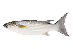 Grey Mullet or flathead mullet fish (Mugil cephalus) isolated on Stock Images