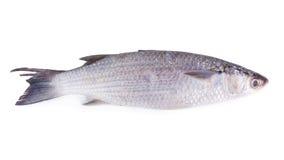 Grey Mullet of geïsoleerd verticale raamstijlvissen met platte kop (Mugil cephalus) Royalty-vrije Stock Foto