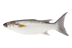 Grey Mullet of geïsoleerd verticale raamstijlvissen met platte kop (Mugil cephalus) stock afbeeldingen