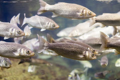 Grey mullet at  water Stock Photography