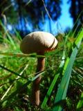 Grey mushroom in green grass. Grey mushroom in the woods Stock Image