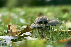 Mushrooms on green meadow in the autumn royalty free stock photos