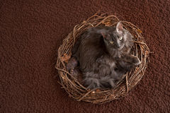 Grey Nebelung Cat dans le nid Images stock